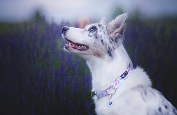 обоя животные, собаки, морда, лаванда, собака, боке, аусси, австралийская, овчарка