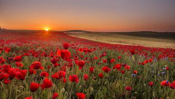 обоя цветы, маки, пейзаж, поле, закат