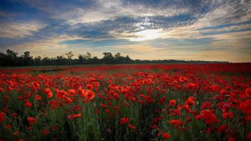 обоя цветы, маки, поле, закат, пейзаж