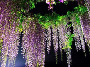 обоя цветы, глициния