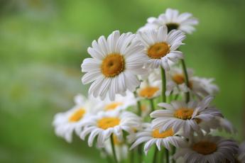 обоя цветы, ромашки, цветение, поле