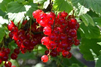 Картинка природа Ягоды урожай лето красная смородина июнь ягоды