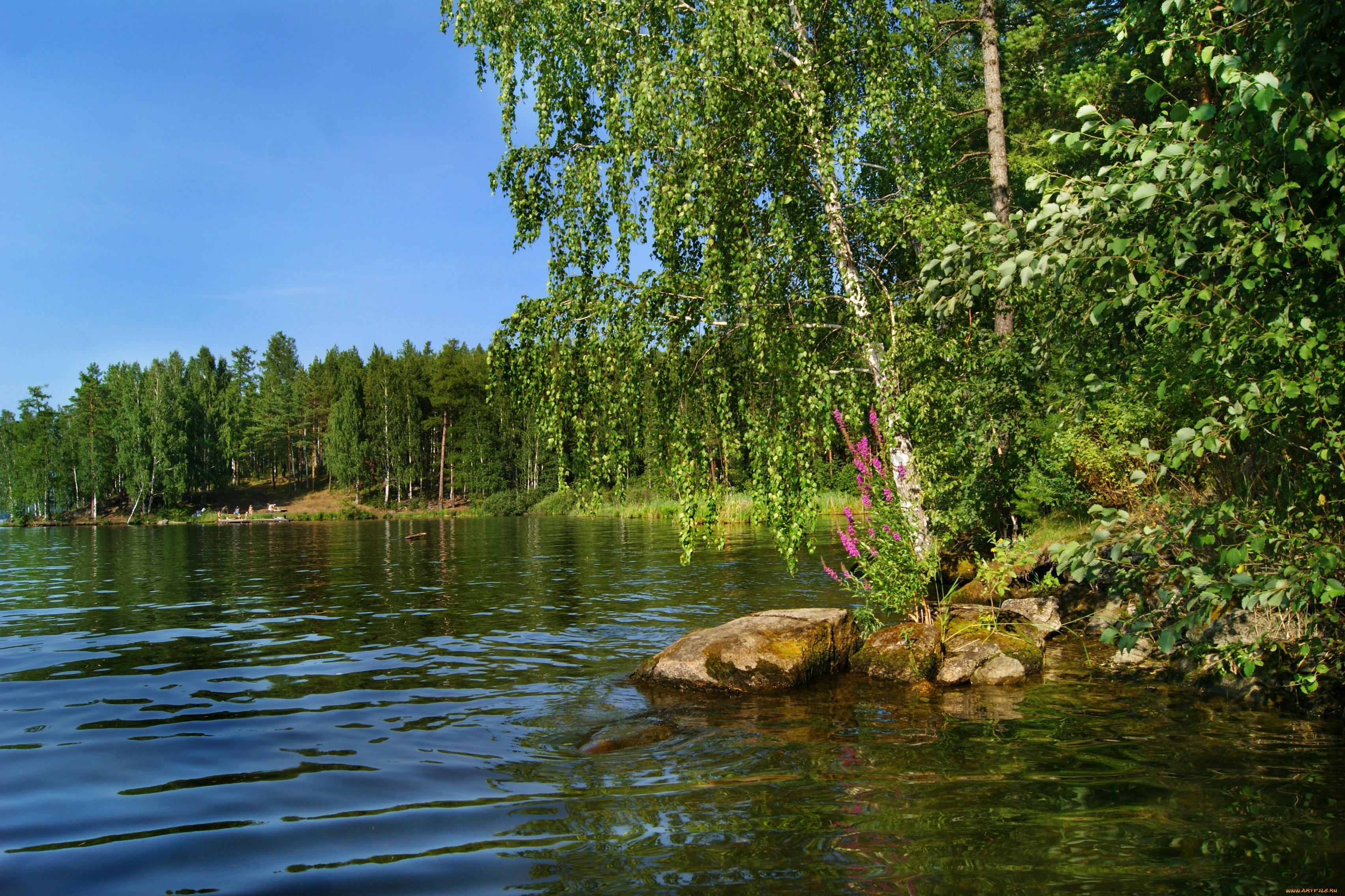березы берег озеро  № 1195449 бесплатно