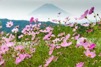Картинка цветы космея луг