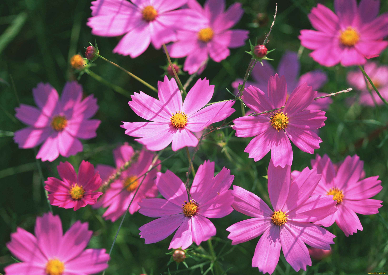 Космея картинки цветов, открытки день