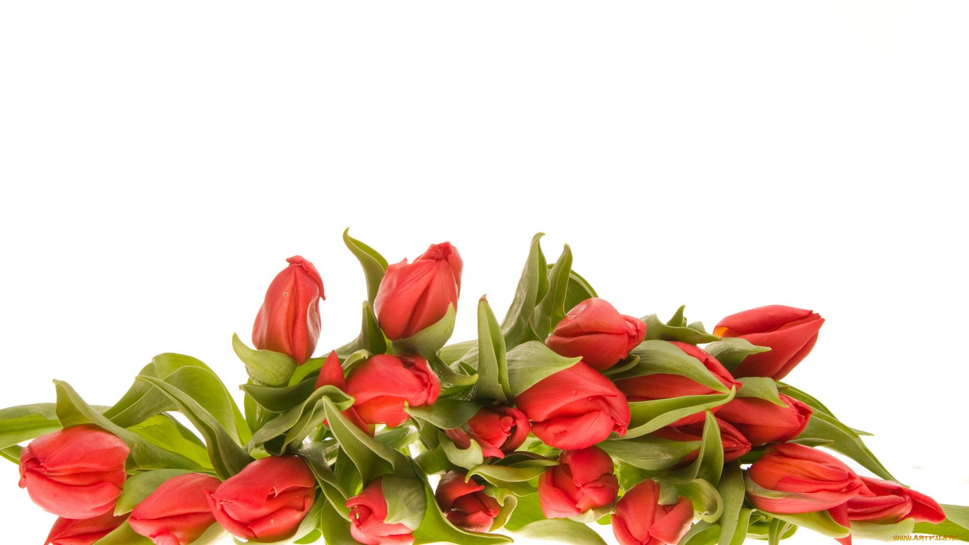 Тюльпаны для оформления открытки, открытки новым