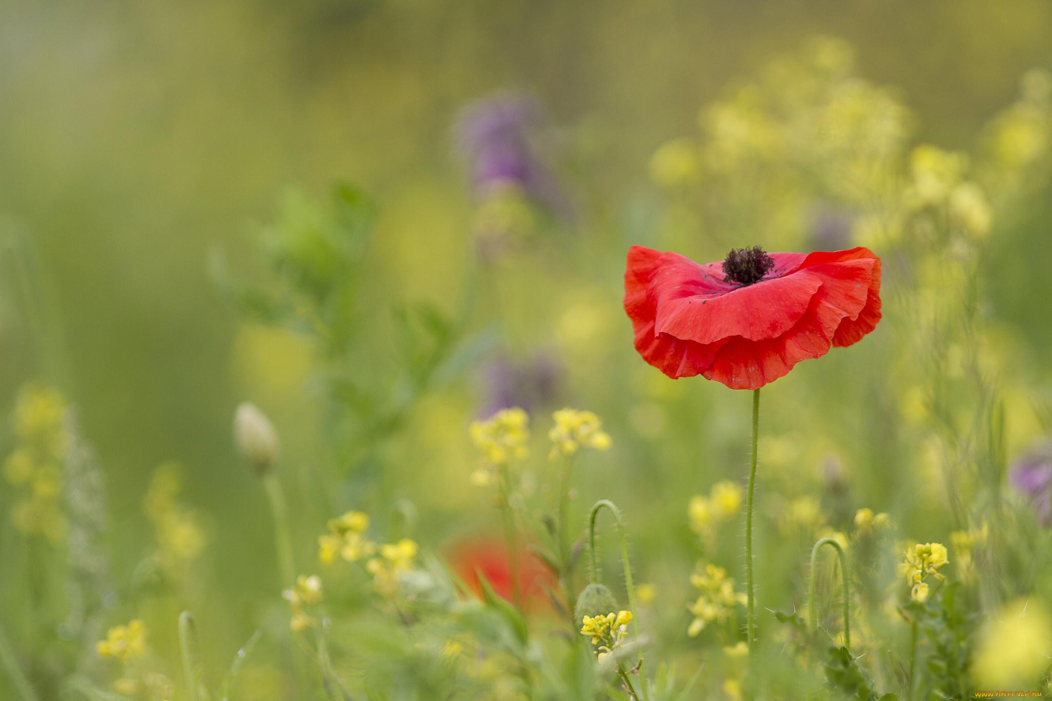 поле маки цветы скачать