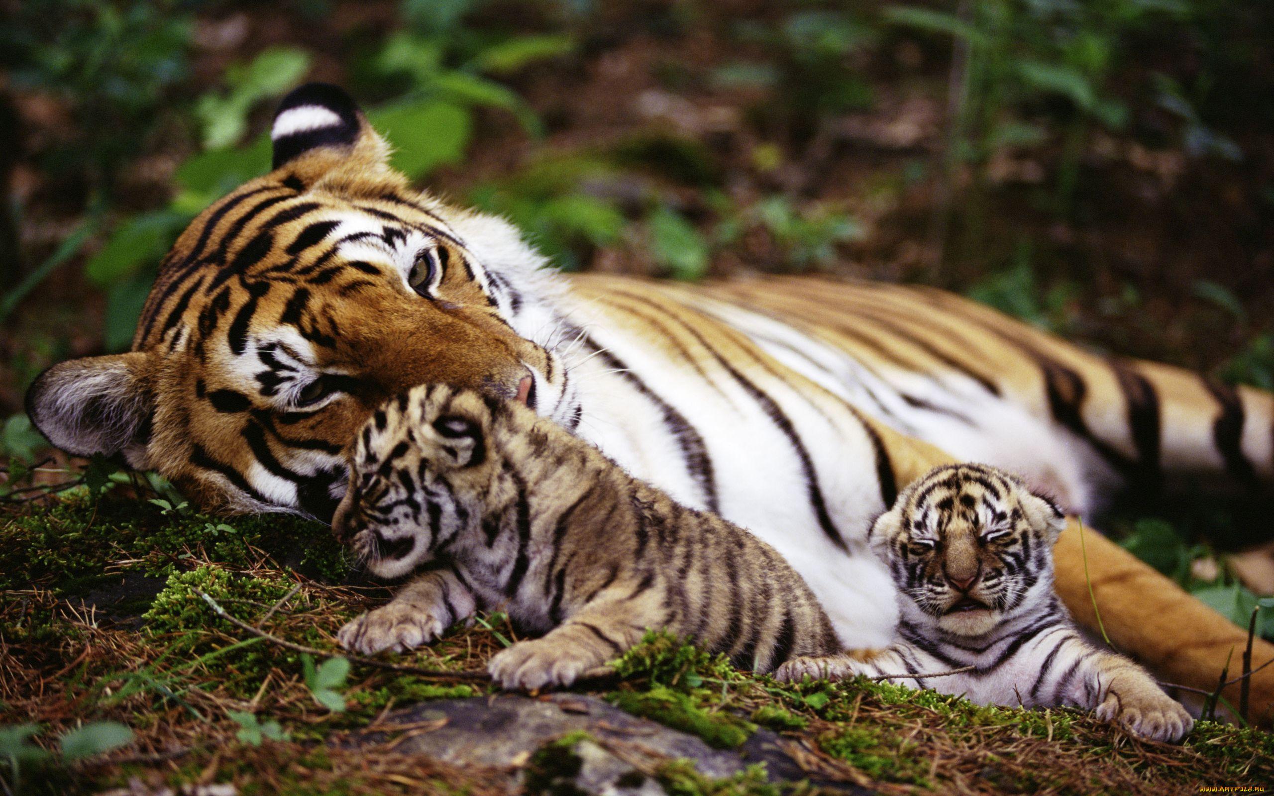 природа животные тигры nature animals tigers  № 1297238 бесплатно