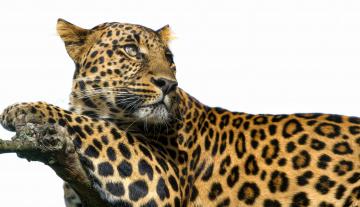 Картинка животные леопарды пятна взгляд хищник