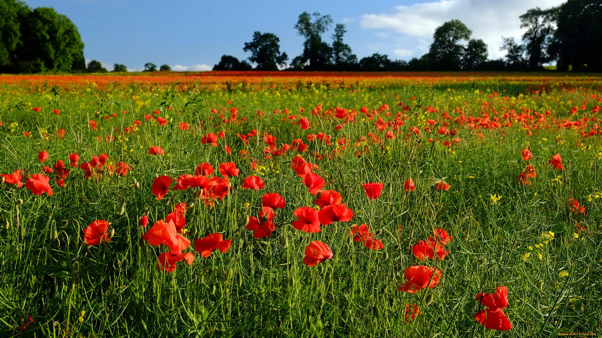 природа цветы красный загрузить