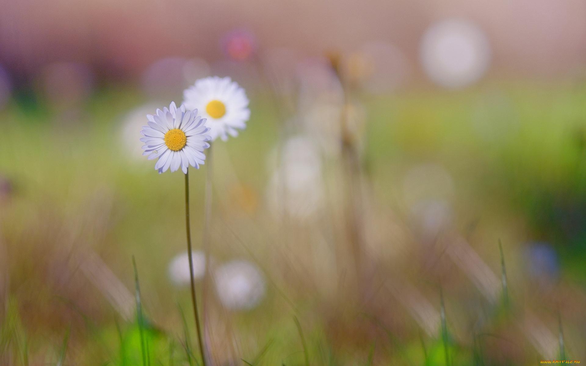 ромашки поле цветы chamomile field flowers скачать