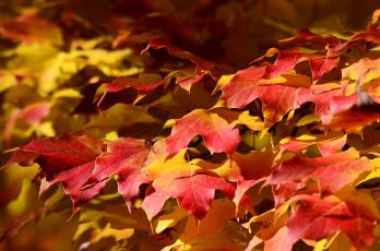 Картинка природа листья осень клен ковер