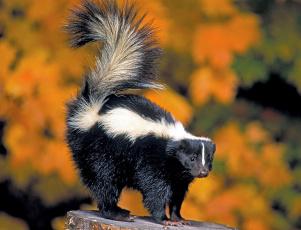 Картинка животные скунсы черно-белый пушистый хвост