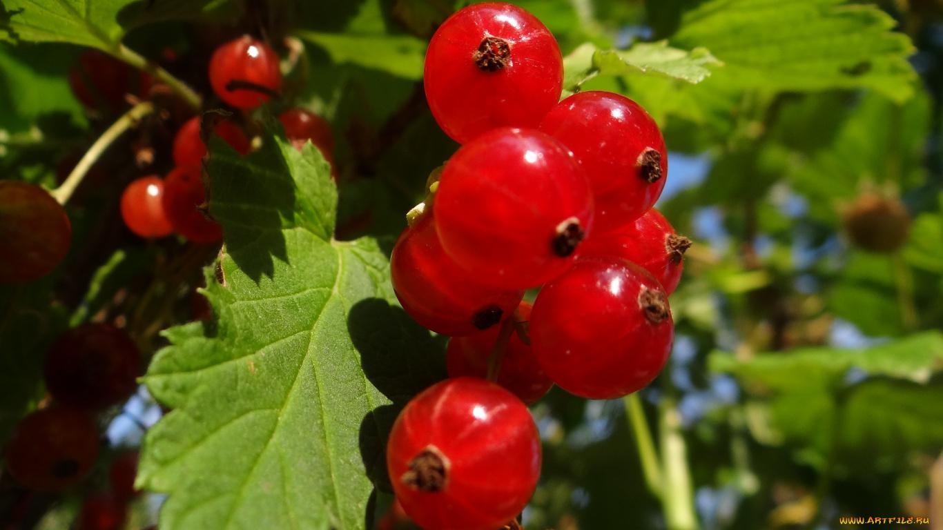 природа ягоды смородина nature berries currant загрузить