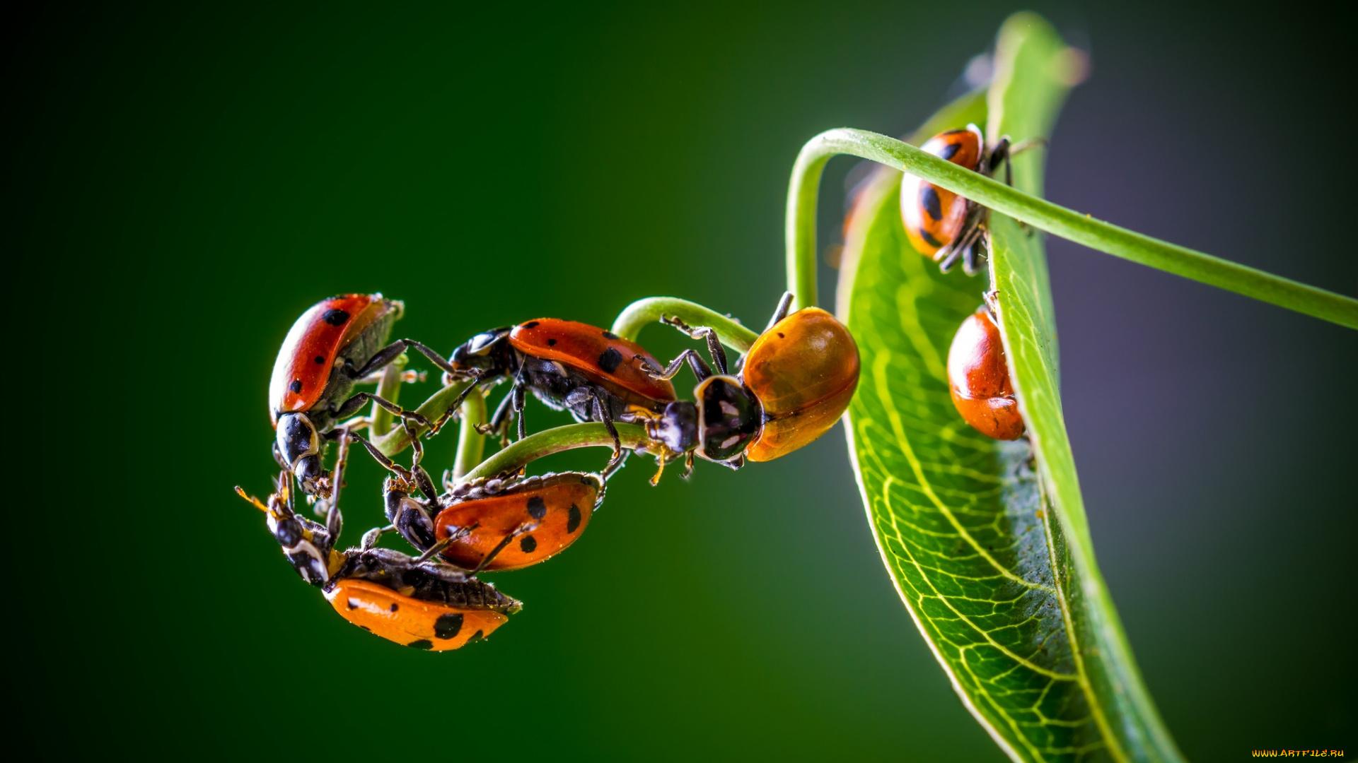 природа божья коровка цветок макро насекомое животное  № 3856264 загрузить