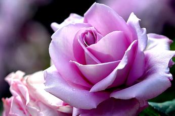 Картинка цветы розы макро