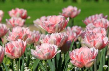 Картинка цветы тюльпаны розовые