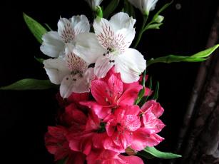 обоя цветы, альстромерия, белый, розовый