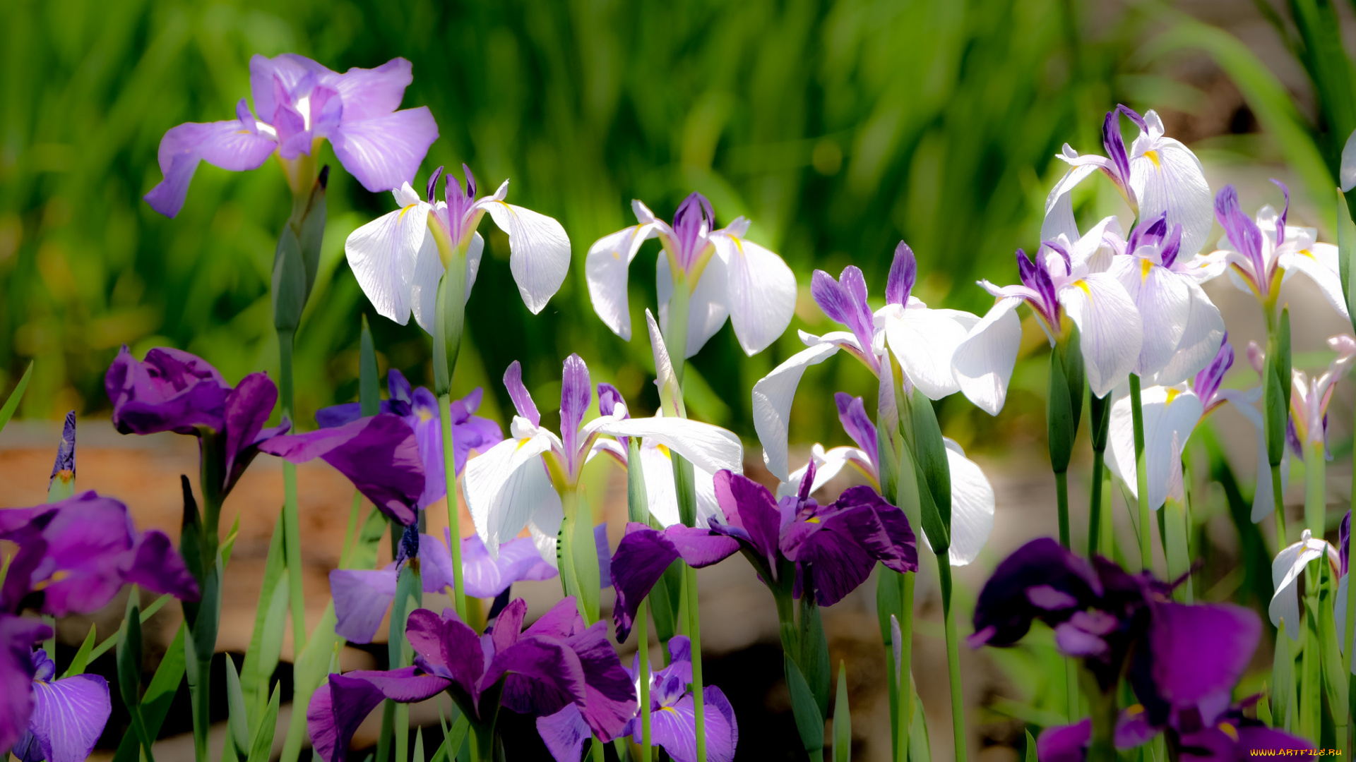 шмель,ирис,цветок,лето  № 529543 без смс