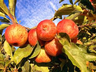 обоя природа, плоды, яблоки