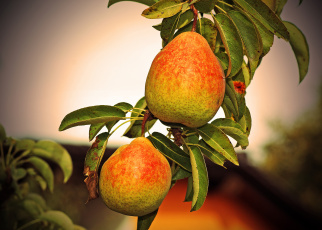 обоя природа, плоды, груши