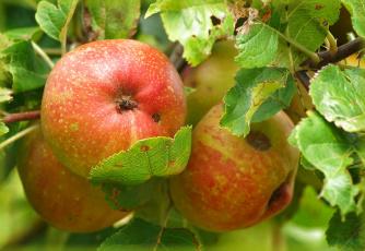 обоя природа, плоды, яблочки
