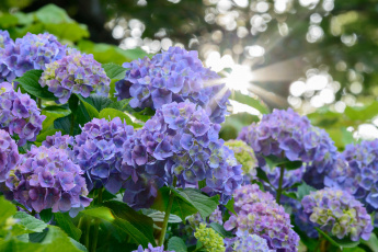 обоя цветы, гортензия, цвет, лепестки, цветение