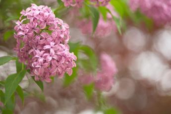 обоя цветы, сирень, цвет, лепестки, цветение