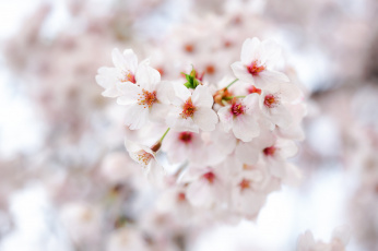обоя цветы, цветущие деревья ,  кустарники, цветение, лепестки, весна, ветка