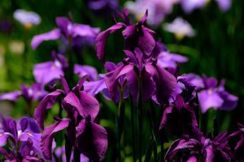 обоя цветы, ирисы, цвет, цветение, лепестки