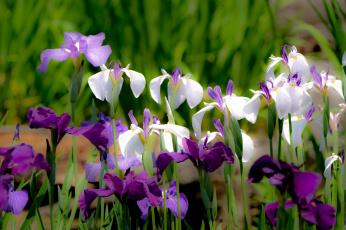 обоя цветы, ирисы, цвет, лепестки, цветение, ирис