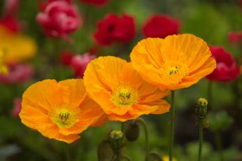 обоя цветы, маки, цвет, лепестки, цветение, мак
