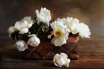 обоя цветы, пионы, цвет, лепестки, цветение, пион