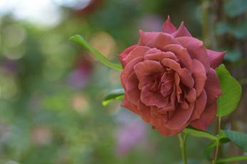 обоя цветы, розы, цвет, лепестки, цветение, роза