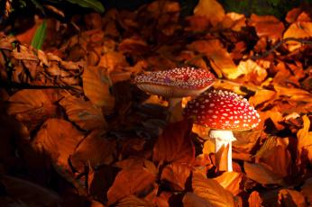обоя природа, грибы,  мухомор, грибок