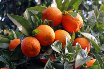 обоя природа, плоды, мандарины