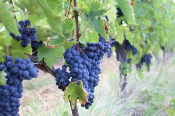 обоя природа, Ягоды,  виноград, лоза