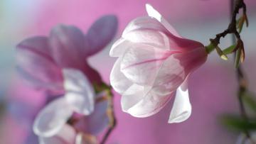 обоя цветы, магнолии, бутоны, весна, цветение, лепестки, розовый, цветок, природа, фон, магнолия, цветки