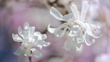 обоя цветы, магнолии, весна, светотень, дуэт, лепестки, белые, светлый, фон, нежно, свет, магнолия, ветка, цветки, изящно, бутоны, цветение, нежные, флора, красота