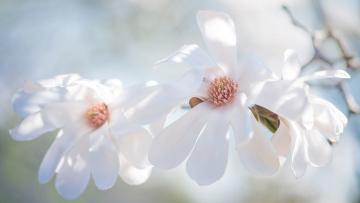 обоя цветы, магнолии, весна, трио, лепестки, белые, кустарник, светлый, светло, фон, нежно, свет, магнолия, ветка, цветки, бутоны, изящно, цветение, красота