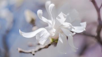 обоя цветы, магнолии, весна, ветки, изящно, лепестки, флора, белые, бутоны, цветение, светло, нежно, свет, магнолия, цветки, красота