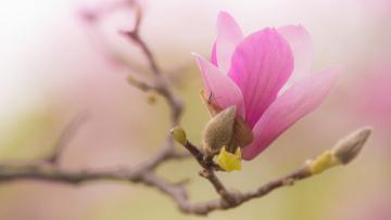 обоя цветы, магнолии, весна, ветки, розовые, изящно, насекомое, лепестки, бутоны, цветение, фон, нежно, зеленый, магнолия, красота, цветки