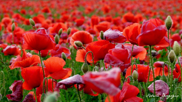обоя цветы, маки, мак, красота, цвет, лепестки, цветение