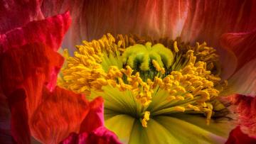 обоя цветы, маки, пестик, крупный, план, мак, внутри, цветка, тычинки, цветок, макро, красный
