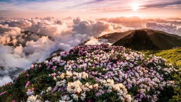 обоя природа, горы, цветы, утро, склон, весна, рододендроны, сказочно, солцне, цветение, холмы, солнце, облака, лучи, пейзаж, туман, вид, рассвет, небо