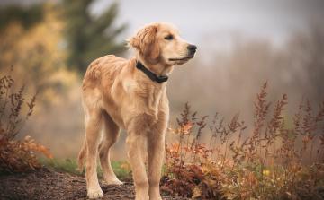обоя животные, собаки, друг, golden, retriever, взгляд, собака