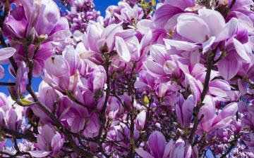 обоя цветы, магнолии, весна, лепестки, море, цветов, кустарник, природа, магнолия, много, цветки, бутоны, ветки, куст, цветение, буйное, обилие, нежные, дерево, флора, сиреневые, красота