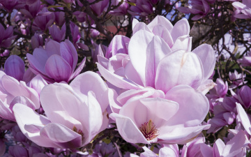 обоя цветы, магнолии, весна, лепестки, природа, магнолия, много, цветки, бутоны, ветки, цветение, буйное, обилие, нежные, флора, сиреневые, красота