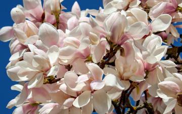 обоя цветы, магнолии, весна, небо, голубое, лепестки, белые, кустарник, магнолия, много, цветки, бутоны, ветки, куст, цветение, буйное, дерево, флора, красота