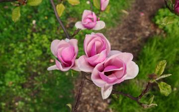 обоя цветы, магнолии, весна, трава, розовые, куст, цветение, зелень, дерево, кустарник, бутоны, сад, магнолия, ветка, цветки